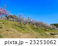 梅 梅林 花の写真 23253062