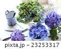 テーブルの上にある色々なアジサイの花 23253317