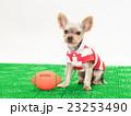 ラグビーボールとヨークシャテリアの子犬 23253490