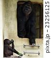 東山動物園のゴリラ 23256125