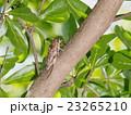 枝 昆虫 せみの写真 23265210
