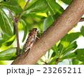 枝 昆虫 せみの写真 23265211