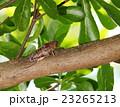 枝 昆虫 せみの写真 23265213