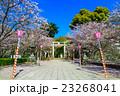 大村公園 桜 春の写真 23268041