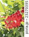 海紅豆 花 蕾の写真 23270395