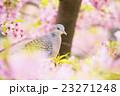キジバトと河津桜 23271248