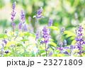 ブルーサルビア 花 植物の写真 23271809