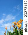 花 カンナ 青空の写真 23272159