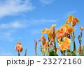 花 カンナ 青空の写真 23272160