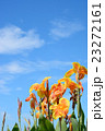 花 カンナ 青空の写真 23272161