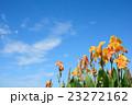 花 カンナ 青空の写真 23272162