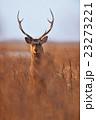 鹿 雄 牡鹿の写真 23273221