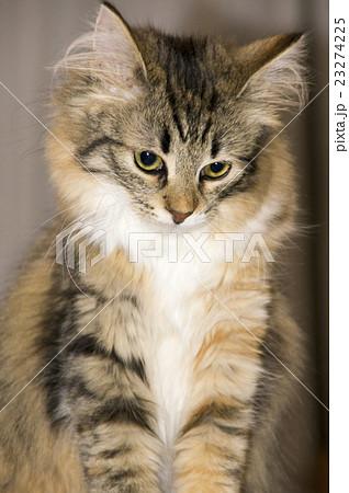 思案顔の猫(ノルウェージャン・フォレストキャット)の写真素材