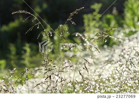 雨上がりの朝、しずくが光る原っぱの草 23277069