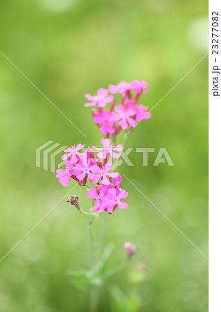初夏の野に咲くピンクの小花 23277082