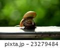カタツムリの交尾 23279484