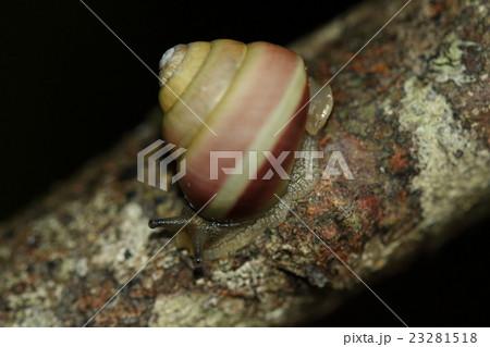 生き物 陸貝 オキナワヤマタカマイマイ、背が高く美しい貝で帯の色は赤、白、黒など変異があるそうです 23281518