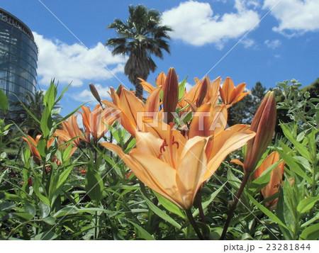 透かし百合の仲間のオレンジ色の花 23281844
