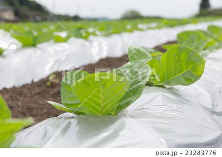 葉たばこ栽培(だるま葉)_5月 23283776