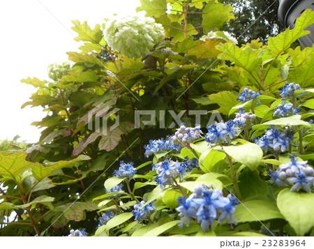 初夏を彩る青いアジサイの花の写真素材 [23283964] - PIXTA