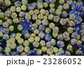 額紫陽花の花 23286052