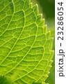 紫陽花の葉脈 23286054