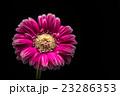 花、ガーベラ、接写、マクロ。 23286353