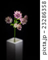 アストランティア、花、接写。 23286358