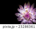 アストランティア、花、接写。 23286361