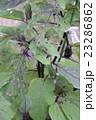 茄子の葉の虫食い 23286862