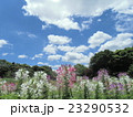 酔蝶花と呼ばれるクレオメの紫色の花 23290532