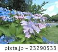 梅雨時の青色の花アジサイ 23290533