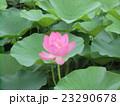 千葉公園のオオガハスの桃色の花 23290678