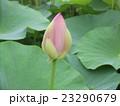千葉公園のオオガハスの桃色の蕾 23290679