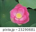 千葉公園のオオガハスの桃色の花 23290681