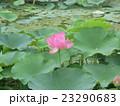 千葉公園のオオガハスの桃色の花 23290683