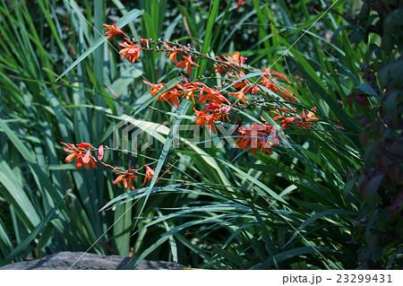 姫檜扇水仙ヒオウギスイセン 花言葉は「楽しい思い出」 23299431