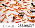 お祭りの金魚 23300837