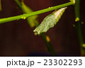 chrysalis of butterfly hanging on branch 23302293