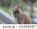ペナン島 ペナンヒルの小猿 23308367