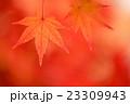 紅葉 モミジ 秋の写真 23309943