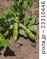 そら豆栽培 5月(家庭菜園) 23310446