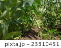 そら豆栽培 5月(家庭菜園) 23310451