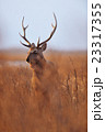 鹿 雄 牡鹿の写真 23317355