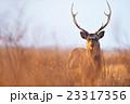 鹿 雄 牡鹿の写真 23317356