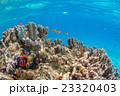 クマノミ 海 海水魚の写真 23320403