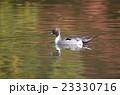 紅葉の池とオナガガモ 23330716