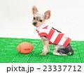ラグビーボールとヨークシャテリアの子犬 23337712
