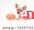 ラグビーボールとヨークシャテリアの子犬 23337713