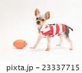 ラグビーボールとヨークシャテリアの子犬 23337715